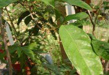 mitragyna javanica