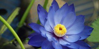 blue-lotus-extract-powder