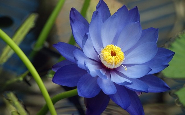 blue lotus benefits, sideeffects  how to use? krtomguides, Beautiful flower