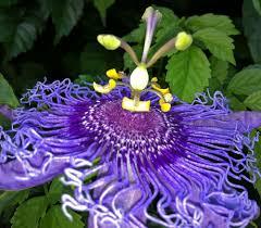 Passionflower(Passifloraincarnata)