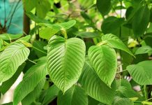 Asian Herb Kratom