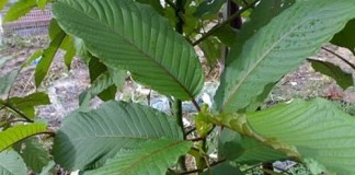 Air Ketum in Malaysia