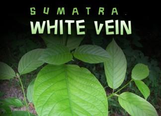 White Vein Sumatra kratom