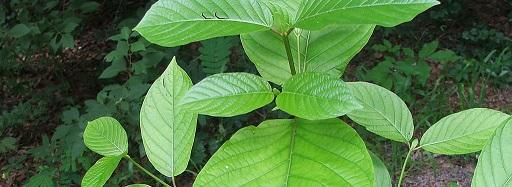 Malay Kratom Leaves