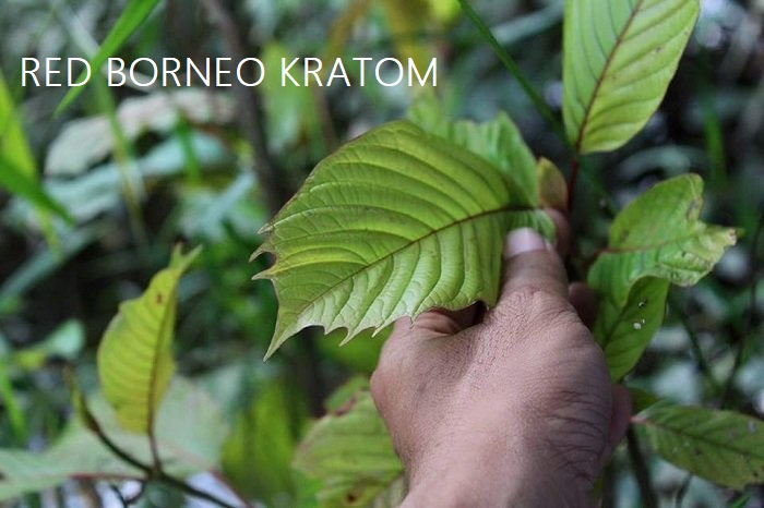 Red Borneo Kratom The Origin Effects And Dosage