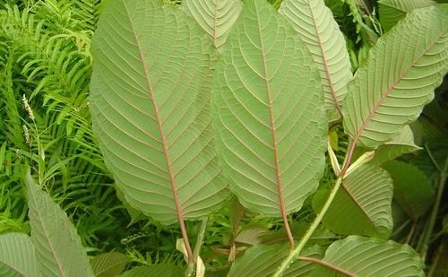 thai-kratom-leaves