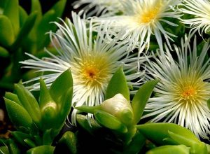 kanna-sceletium-tortuosum-benefits-side-effects-and-how-to-use