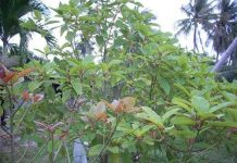 growing kratom tree