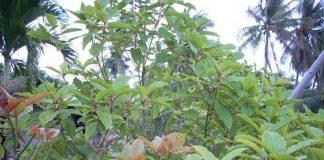 growing kratom tree