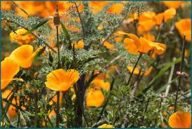 California poppy (Eschscholzia California)