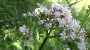 Valerian (Valerian Officinalis)