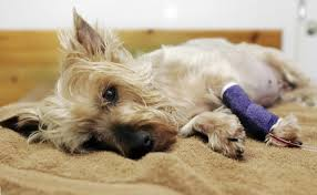 pain relief in pets