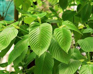 Asian Herb Kratom