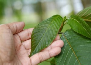 myths about kratom