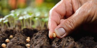Kratom plants & Kratom seeds