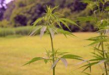 kratom marijuana thailand