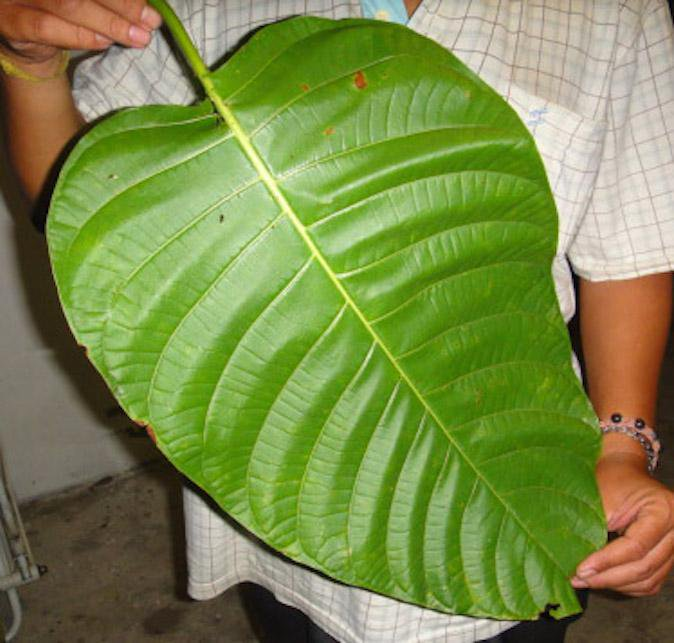 Elephant Kratom giant Leaf