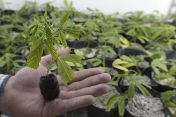 Growung Weed and Kratom