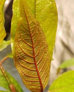 yellow sunda kratom
